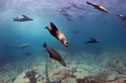 100leaguesunderthesea:  Australian and NZ Fur Seals by nicolas.terry on Flickr.