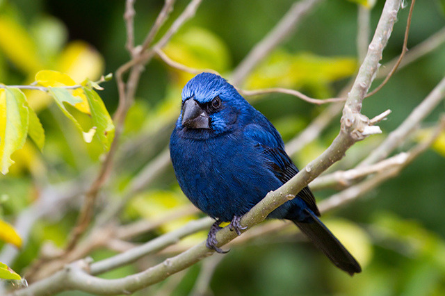fairy-wren:  ultramarine grosbeak(photo)