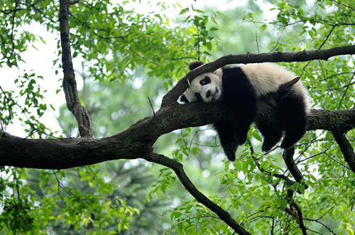 guardian:  Relax.. it's the weekend (almost..)!  A giant panda rests on a tree in Ya'an, Sichuan province, China - one of the many images in environmentguardian.co.uk's week in wildlife galleryPhotograph: Reuters