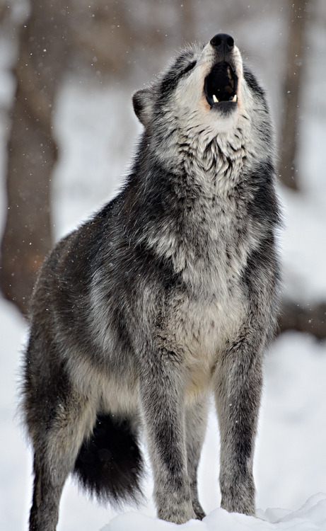 ethereo:  wolves-speedwell (by dfbphotos)