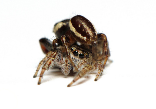 Spider sex - Eris militaris  on Flickr.Jumping spider sex. Well. That's just awkward.