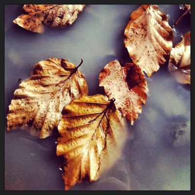 #leaves #withered #puddle
