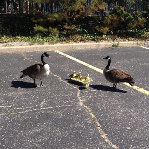 Ducklings in a parking lot!