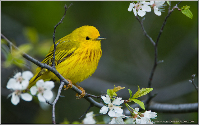 Yellow Warbler  by Raymond J Barlow on Flickr.