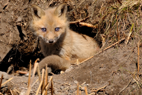 Renard Roux Red Fox  1-05-13 (by r.gelly)