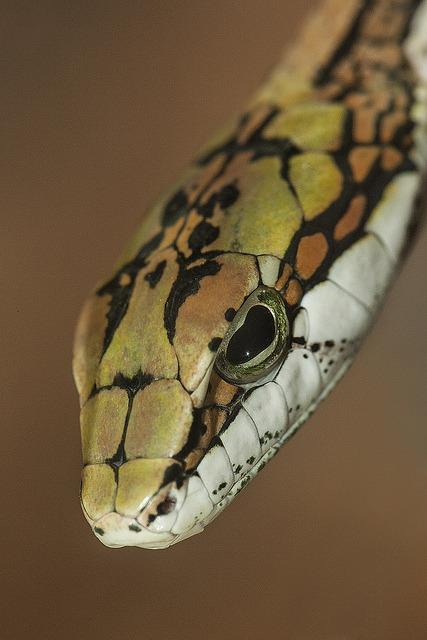sdzoo:  Twig snake