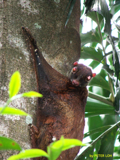 Colugos are arboreal gliding mammals found in South-east Asia. There are just two extant species, which make up the entire family Cynocephalidae and order Dermoptera. They are the most capable of all gliding mammals, using flaps of extra skin between their legs to glide from higher to lower locations. They are also known as cobegos or flying lemurs, though they are not true lemurs. Their most distinctive feature is the membrane of skin that extends between their limbs and gives them the ability to glide long distances between trees. Of all the gliding mammals, the colugos have the most extensive adaptation to flight. (Wikipedia) Photo by Peter Loh