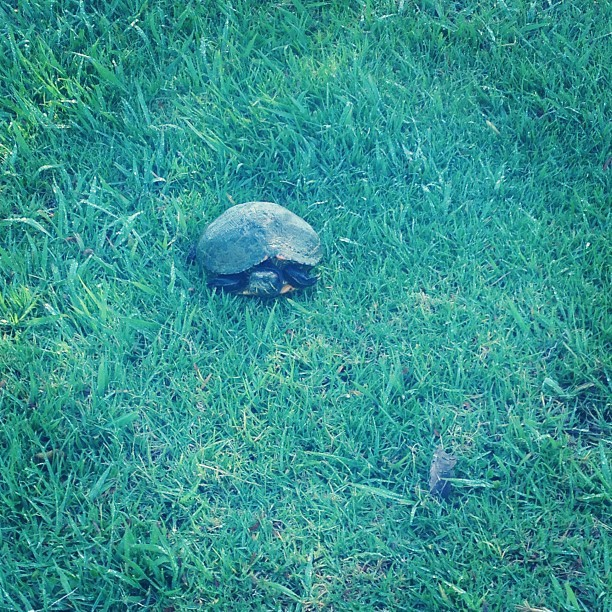 Little turtle friend from this morning's walk. (à La Mirada Golf Course)