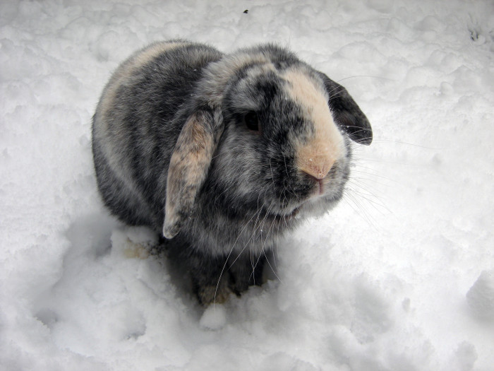 dailybunny:  Bunny Isn't Sure What He Thinks About This Snow Thanks, Vi!
