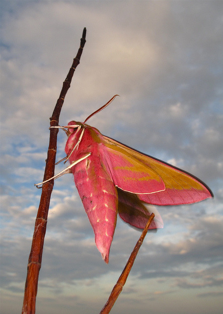 Elephant Hawkmoth by Andy_Phillips