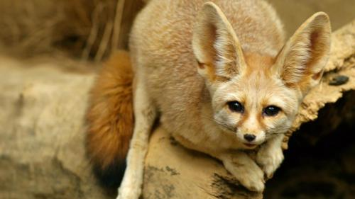 spikedurden:  Fennec Fox, Lincoln Park Zoo, Chicago, IL