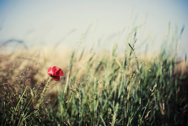 intuire:  Poppy there by *December Sun on Flickr.