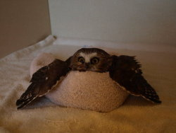 bizarro-sai:  tin-pan-ali:  floof  That is an owl chilling in a dog/cat bed…