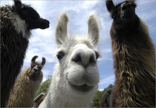 Humming like a llama today. (Llamas hum when they are happy.)