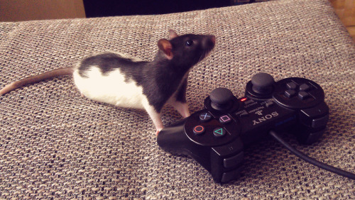 batmanandrobin67:  YES, I'M A RAT YES, I PLAY VIDEO GAMES  no he just pees on the controller