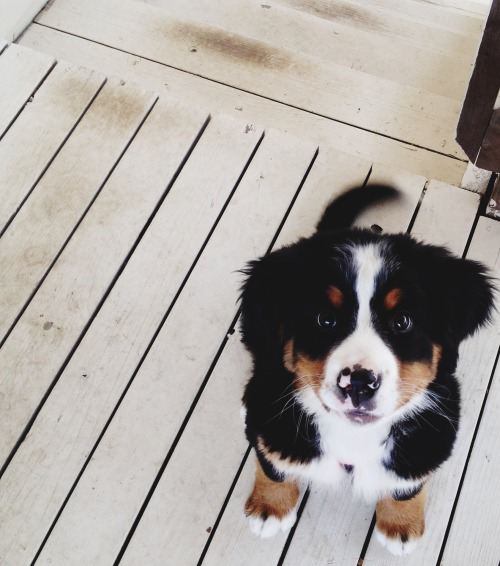 handsomedogs:  This is Belen, my good friend's Bernese Mountain Dog. She is a tomboy who loves to wrestle, take naps, and lick your whole entire face. One of my favorite dogs, ever.