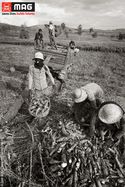 CAMBODIA agriculture on Flickr.Via Flickr: Pic of the Day: Farming in Cambodia, 2012. Malai District is located in the far west of Cambodia, in Banteay Meanchey province on the Thai border. The area is developing very quickly and many people from other parts of Cambodia continue to move here due to the opportunities that exist. There are many business interests in the region because of the close proximity to Thailand, and the soil here is extremely fertile. This puts additional pressure on land - a huge issue in many parts of Cambodia - and more people are risking themselves by pushing into land contaminated by landmines. It is therefore no surprise that the majority of mine accidents happen in the west of the country. This area was controlled by the Khmer Rouge for many years, and was the scene of extended periods of conflict involving the Khmer Rouge, Vietnamese and Government forces and more. The infamous K5 minebelt laid by the Vietnamese in the mid- to late-80s, covering a staggering 700 by 500 kilometres, also cuts through this area.  MAG has cleared and released a lot of highly contaminated land in the district since 1999.www.maginternational.org