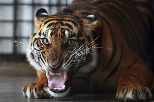 Conserving Endangered Tigers A critically endangered Sumatran tiger (Panthera tigris sumatrae) growls at a photographer at the Sumatra Tiger Rescue Centre compound, inside the Tambling Wildlife Nature Conservation (TWNC), near Bandar Lampung, Indonesia, on February 25, 2013. The rescue center has released five tigers since 2009 on the 45,000 hectares of the TWNC jungle. Eight tigers, which eat a total of 80 live pigs a month, are still under its care, but one of the eight will be released next year. The Sumatran tiger is a rare tiger subspecies that inhabits the Indonesian island of Sumatra and is classified as critically endangered. About 440-600 of these animals were accounted for by the International Union for Conservation of Nature (IUCN) in 2008. The owner of this preserve has said that it costs roughly $150,000 per month to maintain. (photo: Beawiharta/Reuters)                (via: Takepart.org)