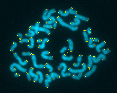 "ucsdhealthsciences:  Telomeres (yellow) on human chromosomes. Image courtesy of Michael West. Caught short with a cold Telomeres are the ""caps"" that sit at the ends of chromosomes in every cell, protecting vital DNA sequences from damage. Think of them as extended bumpers. Over the years, a number of studies have linked shorter telomeres to everything from aging to aging-related conditions like cancer, cardiovascular disease and dementia. Now researchers at Carnegie Mellon University say they've found evidence that shorter telomeres affect the well-being of relatively young, healthy people too. These people, the scientists write in JAMA, have a higher risk of catching a cold. The researchers looked at 152 healthy adults, ages 18 to 55, living in and around Pittsburgh. They took blood samples and measured the telomere lengths in leukocytes, white blood cells involved in the immune response. Then they put the participants in quarantine and exposed them to a virus that causes the common cold. More than two-thirds of the volunteers – 105 people, 69 percent – became infected with the virus; 33 actually developed colds. When researchers compared telomere measurements with who got sick, they found that, generally speaking, shorter telomeres in four types of blood cells were associated with a higher risk of infection. Most notably in a type of T-cell (another kind of immune response cell known as a lymphocyte) called CD8CD28. The link between shorter telomeres and catching a cold became stronger with increasing age in the study subjects. The researchers speculate that T-cells with shorter telomeres don't proliferate as well as T-cells with longer telomeres, making them less effective at removing virus-infected cells. ""A provocative possibility is that telomere length is a very stable marker of disease susceptibility, with associations between telomere length and clinical outcomes beginning to emerge in early adulthood,"" the authors wrote. It's too early to know how this basic research will translate clinically. Lots of folks have suggested that maintaining telomere health is akin to maintaining overall well-being. That remains to be proven conclusively, but it does beg the obvious question: How do I keep my telomeres long and healthy? Alas, shortening appears to be part of the aging process (every time a cell divides its DNA for replication, it's telomeres shorten too), but there is some evidence to suggest that things like reduced stress and a diet rich in omega-3 fatty acids might slow the shortening process or generally boost cellular health."