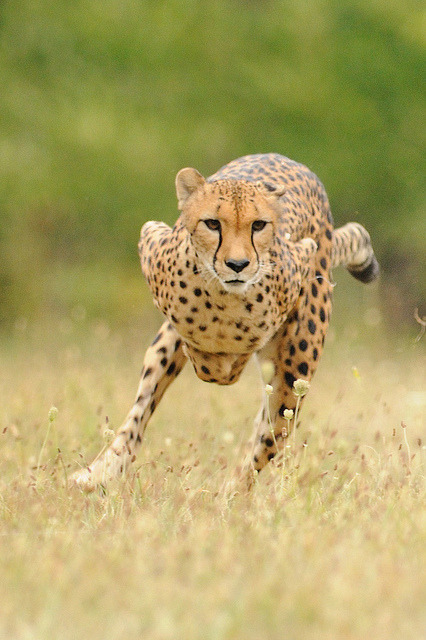 cheetah-chaser:  Cheetah running by CincinnatiZoo on Flickr.