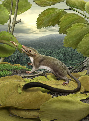Rat-Size Ancestor Said to Link Man and Beast   Humankind's common ancestor with other mammals may have been a roughly rat-size animal that weighed no more than a half a pound, had a long furry tail and lived on insects.  In a comprehensive six-year study of the mammalian family tree, scientists have identified and reconstructed what they say is the most likely common ancestor of the many species on the most abundant and diverse branch of that tree — the branch of creatures that nourish their young in utero through a placenta. The work appears to support the view that in the global extinctions some 66 million years ago, all non-avian dinosaurs had to die for mammals to flourish.  Scientists had been searching for just such a common genealogical link and have found it in a lowly occupant of the fossil record, Protungulatum donnae, that until now has been so obscure that it lacks a colloquial nickname. But as researchers reported Thursday in the journal Science, the animal had several anatomical characteristics for live births that anticipated all placental mammals and led to some 5,400 living species, from shrews to elephants, bats to whales, cats to dogs and, not least, humans…  Click through for the whole story