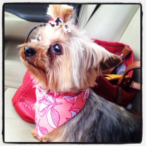 My mama looking prestigious! #zoey #yorkie #cute #dogs #puppies. #yorkies #yorkshireterrier #pup #purebread #love