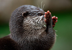 Asian small-clawed otter (Aonyx cinerea) plays in its compound at an animal park in Hamburg, Germany Photograph: Sven Hoppe/AP