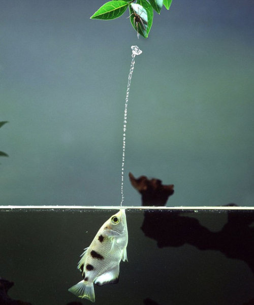 geniusofthehole:  The Archerfish The Archerfish fires a jet of water at its prey, making it drop to the water so it can eat it. Archerfish are remarkably accurate in their shooting; adult fish almost always hit the target on the first shot. They can bring down insects and other prey such as grasshoppers, spiders and butterflies, on perches, up to 3 m above the water's surface. This is partially due to their good eyesight, but also their ability to compensate for the refraction of light as it passes through the air water interface when aiming for their prey. [x] Video [x] Source