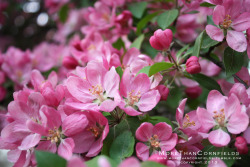 Crab Apple Blossoms Northeastern Illinois