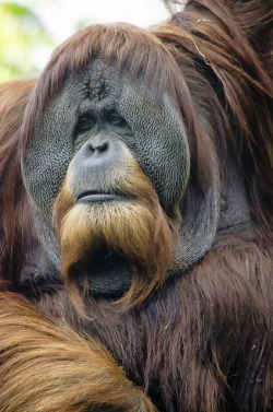 sdzoo:  Male orangutan by lsbalon