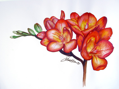 'Freesia'- Watercolour and Ink on Paper