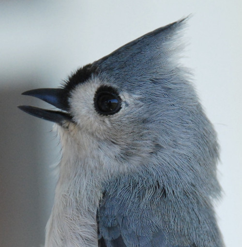 Tufted Titmouse by trombh on Flickr.