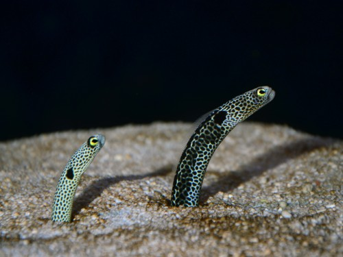 astronomy-to-zoology:  Spotted Garden Eel  (Heteroconger hassi) is a small species of conger eel found in shallowish Indo-Pacific waters. This species is widely known for its burrows, as large groups of up to a few thousand eels will burrow into the bottom of a reef or coral cluster and sit in their small sandy homes with their mouths pointed towards the current in the hopes of catching any zooplankton that may swim by. Phylogeny Animalia-Chordata-Actinopterygii-Anguilliformes-Congridae-Heteroconger-hassi Source, Source