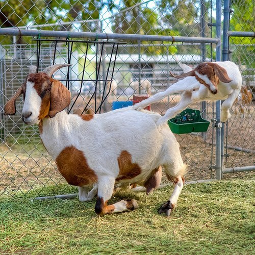 Parkour Goat in training! Via the Facebook page of Haystack Mountain Goat Dairy.