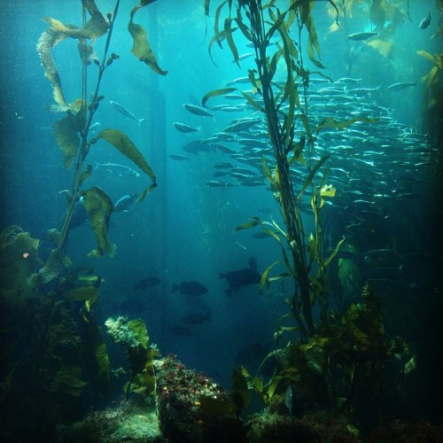 Kelp Forest - Monterey Bay Aquarium | #monterey #aquarium #adventure #window #tank #kelp #forest #fish #sealife #iphoneography #igerssf  (at Monterey Bay Aquarium)