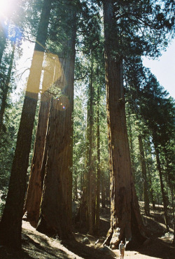 Giant Sequoias, Tiny Gregg by Walk Robins on Flickr.