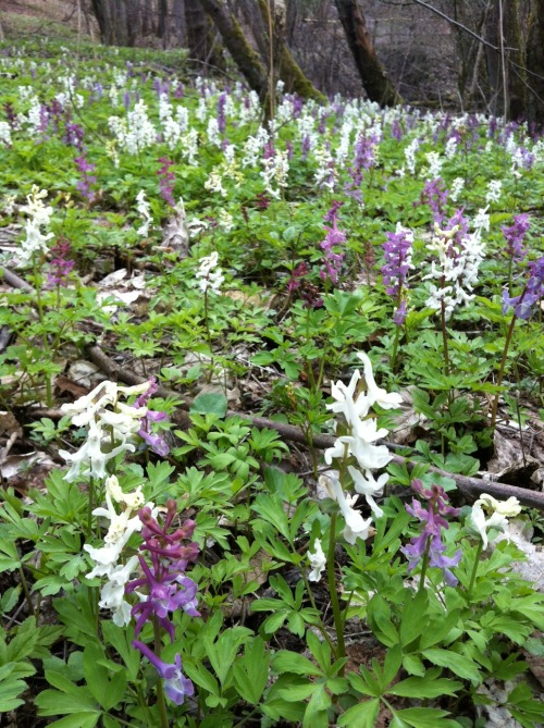 A forest floor covered in corydalis.