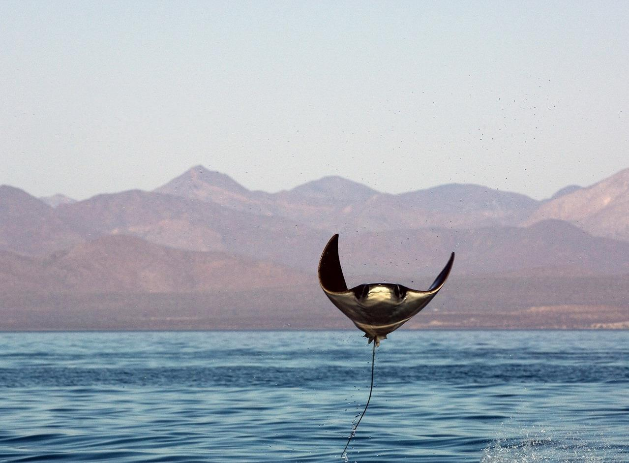 fyeah-seacreatures:  lizardking90:  The Great Leap Manta rays frequently leap out of the water, though it is not clear why. Some speculate it is to evade predators, get rid of parasites, attract females, or just for fun. Though most leaps are 2-3 feet off the surface of the water, there have been reports as high as 9 feet. When they belly flop back onto the water, it make an incredibly loud bang. Spectators have described it as sounding a lot like gunfire. -Ifuckinglovescience  Whatever the reason, it's cute as hell.