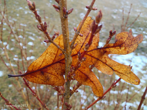 Oak leaf. Caught in the forsythia. January 29, 2013.