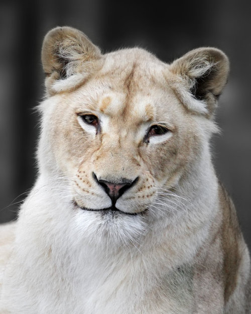earthlynation:  Lion's Smile by snowporing