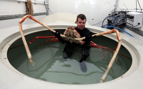 allcreatures:   Sea Life Senior Curator Chris Brown prepares to move Japanese Spider crab named Big Daddy as it settles in to its new home at Blackpool's Sea Life Centre. The nine-foot claw-span of the giant Japanese Spider Crab, which is to be housed on the Golden Mile, makes him Europe's biggest crab.  Picture: Dave Thompson/PA (via Pictures of the day: 19 March 2013 - Telegraph)  no no no nononoononono