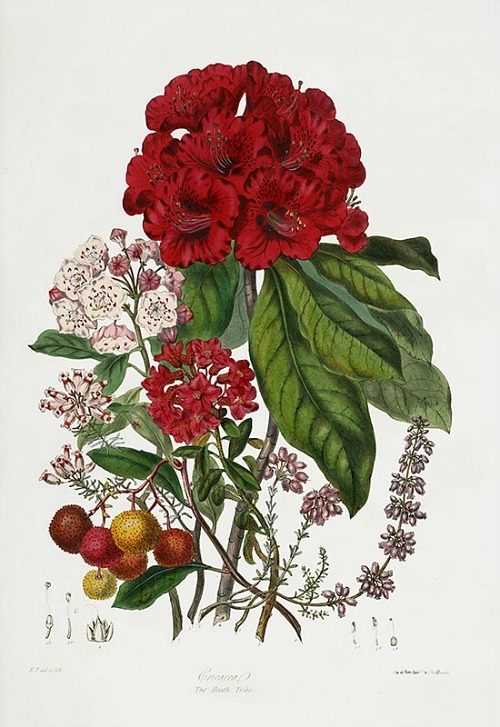 Elizabeth Twining The Heath Tribe, Rhododendron, detail 1849