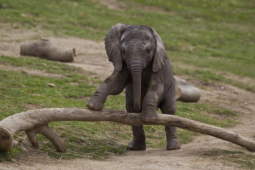 llbwwb:  Elephant calf (by Official San Diego Zoo)