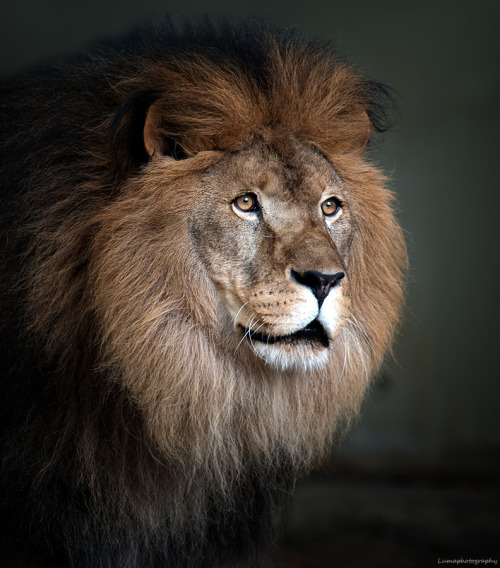 vurtual:  Lion King (by Martien van Hout)