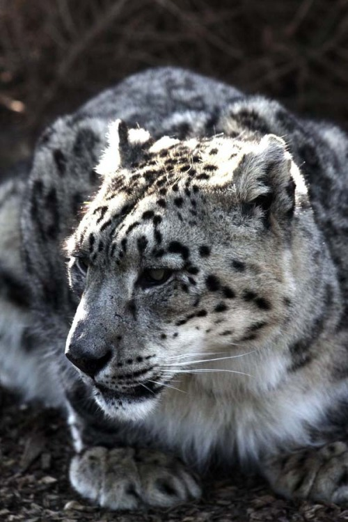 eyecndy:  Snow Leopard | Source