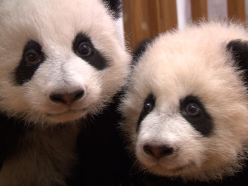 Are giant pandas worth saving? (Photo: Rock Center with Brian Williams) Experts believe more money is probably being spent to save the giant panda than any other species in the world. While this may sound like heresy to panda lovers, is it possible that we're spending too much to save the giant panda? More from Friday's story on Rock Center.