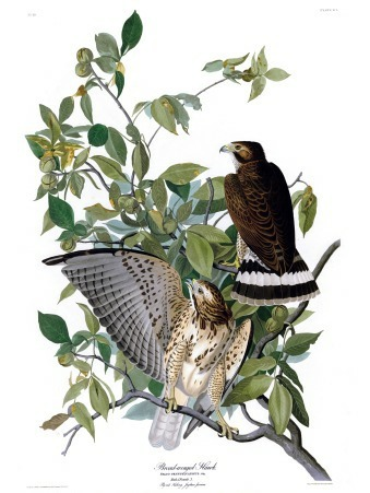 Plate 91 of The Birds of America by John Audubon, the Broad-winged Hawk.