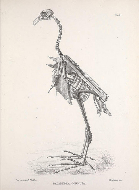 Skeleton of a Horned Screamer Anhima cornuta as Palamedia Cornuta by BioDivLibrary on Flickr. http://en.wikipedia.org/wiki/Horned_Screamer Osteologia avium, or, A sketch of the osteology of birds /.[Wellington] :Published by R. Hobson, Wellington, Salop,1858-1875..biodiversitylibrary.org/page/41399357