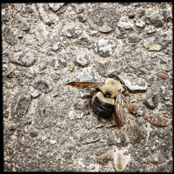 Sadly, a casualty from the weekend's hail storm. Bumble Bee: is any member of the bee genus Bombus, in the family Apidae. There are over 250 known species, existing primarily in the Northern Hemisphere although they also occur in South America. They have been introduced to New Zealand and the Australian state of Tasmania. Bumblebees are social insects that are characterised by black and yellow body hairs, often in bands. However, some species have orange or red on their bodies, or may be entirely black. Another obvious (but not unique) characteristic is the soft nature of the hair (long, branched setae), called pile, that covers their entire body, making them appear and feel fuzzy. They are best distinguished from similarly large, fuzzy bees by the form of the female hind leg, which is modified to form a corbicula: a shiny concave surface that is bare, but surrounded by a fringe of hairs used to transport pollen (in similar bees, the hind leg is completely hairy, and pollen grains are wedged into the hairs for transport). Like their relatives the honey bees, bumblebees feed on nectar and gather pollen to feed their young.  - - from Wikipedia