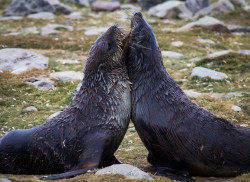 evalaubach:  Bull fur seals fighting in St. Andrew's Bay on South Georgia Island.